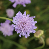 Pincushion Flower