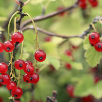 Fruiting Shrubs in Containers