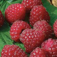 Fruiting Bushes & Berries