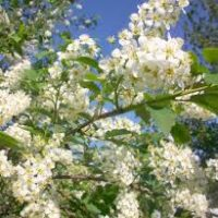 Container Trees and Shrubs