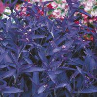 Purple Setereasea